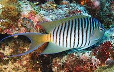 black-spot angelfish (Genicanthus melanospilos), male, western Pacific
