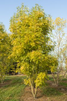 Lawn and Garden Tools Basics Fraxinus Excelsior 'Jaspidea'