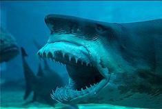 21 Awesome Photos of White Sharks Goblin Shark, Shark Pictures, Shark Bait, Megalodon, Underwater Life, Great White Shark, Sea Monsters, Shark Week, Sea World