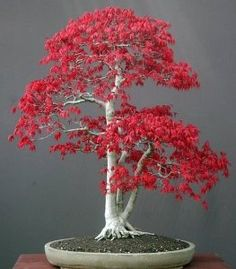 Amazon.com : Japanese Red Maple 'Bamboo Leaf' - 5 Seeds : Tree Plants : Patio, Lawn & Garden