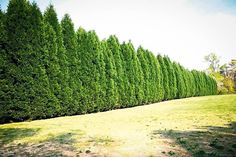 Yard Privacy Trees Living Fence 21 New Ideas Backyard Trees, Landscaping Trees, Privacy Landscaping, Backyard Plants, Backyard Garden Design, Backyard Fences, Backyard Privacy Screen, Residential Landscaping, Backyard Movie