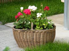 SiklósKert: Muskátli ültetése, öntözése, tápoldatozása, növényvédelme