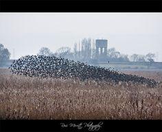Starlings Flocking, Shapwick Heath