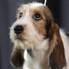 . Grifón Vandeano Basset Petit Basset Griffon Vendeen, Griffon Dog, Basset Puppies, Basset Hound Puppy, Puppies And Kitties, Doggies, Griffons, I Love Dogs, Cute Dogs
