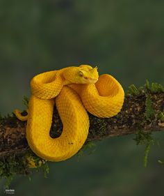 Photograph eyelash viper by Christian Sanchez on 500px