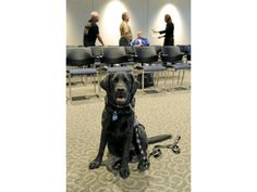 Falcon, being raised by El Paso County Commissioner Amy Lathen and her family, at a County Commissioner meeting.  Falcon will be a guide dog for the blind!