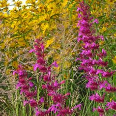 Agastache Ava | Agastache Ava | Low Water Plants, Eco Friendly Landscapes | High Country Gardens
