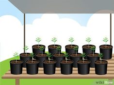 3 Ways to Grow Lavender from Seed - wikiHow Growing Lavender From Seed, How To Propagate Lavender, Greenhouse Gardening, Plantar, Yellow Flowers, Planter Pots, Seeds, Landscaping, Lavender Plants