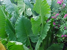 Alocasia good for making concrete leaves from