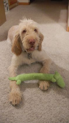 spinone italiano.  National dog of Italy.  These dogs have a charming personality, but can be stubborn. Look a lot like a scruffy old guy.
