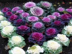 Декоративная капуста - сорта, семена, выращивание. Зимние Растения, Зимние Цветы, Осенний Сад, Капуста, Капуста, Цветущие Растения, Дикие Цветы, Зимний Сад, Посадка Цветов