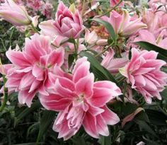 Roselily 'Isabella'  Plant height: 110cm; Bloom color: rose; Hardiness zone: 4-9; Double flowering, up to 20 petals; Lightly fragrant; No pollen; Long vase life