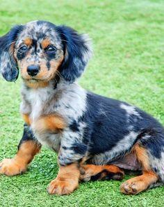 full grown mini dappple dachshund - Google Search