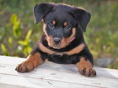 Baby Rottweiler Dog