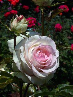 'Moonstone' | Hybrid Tea Rose. Tom Carruth 2005 | Flickr – @ Cap001-Dan