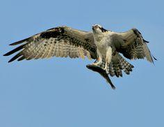 Gottcha Bird Poster, Carving, Birds, Animals, Animales, Animaux, Wood Carvings, Bird, Sculpting
