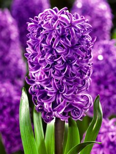 Blossoms of rich purple with alabaster hemming.  Sweet fragrance. 4 bulbs Hyacinth Purple Sensation Hyacinth orientalis