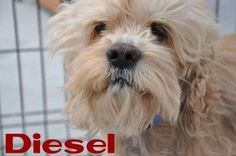 DIESEL. Animal ID: 22301410Species: Dog Breed: Spaniel, American Cocker/Poodle, Miniature Age: 7 years 10 days Sex: Male Size: Medium Color: Tan Spayed/Neutered: YesDeclawed: No Housetrained: Yes Site: Hamilton/Burlington SPCA Location: Dog Adoption Kennels Intake Date: 3/24/2014 Adoption Price: $325.00. Hamilton Burlington SPCA. Adoption Centre:  (905) 574-7722 ext. 305