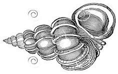 Slikovni rezultat za black and white sea shell pictures