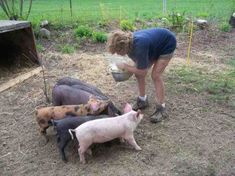 Raising pigs is a great business for a small farm