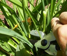 Stella daylillies pruning and dead heading Outdoor Projects, Garden Projects, Garden Ideas, Vegetable Garden, Garden Plants, Beautiful Gardens, Beautiful Flowers, Day Lilies, Flower Beds