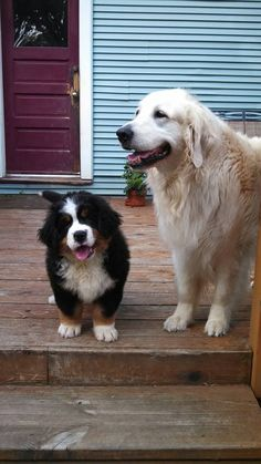 9 week old Bernese Mountain Dog Murphy and his big sister Heidi (golden retriever)!!! ❤