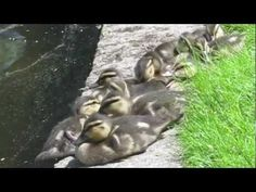 ▶ Boston's Make Way for Ducklings - YouTube