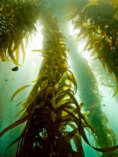 Kelp supplies balanced minerals needed for good skin tone and aids in the reduction of wrinkling. Sea plants contain all of the minerals and vitamins and the high nutritive qualities of iodine and cell salts considered vital to health in a concentrated form necessary for life, thus they stimulate metabolism, strengthen the body system and can be used by everyone.