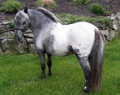 Appaloosa Horses | Miniature Appaloosa and Pintaloosa Horses For Sale in New Jersey