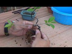 Cómo empezar un bonsai - primeros pasos - YouTube