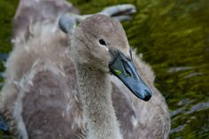 Crying Swan