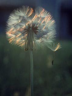 """Dandelion Backlit by the Sun""=>"