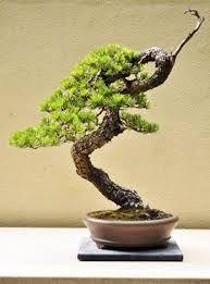 colin lewis bonsai