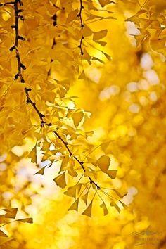 .GINKO TREES~~
