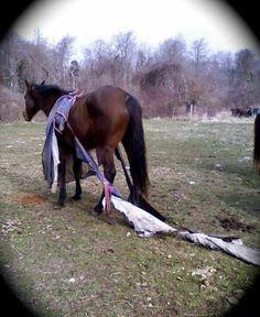And blanket season begins. Not my horse.