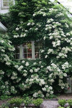 (via climbing hydrangeas | Gardens)