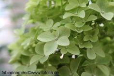 Rispenhortensie-Hortensie-Hydrangea-paniculata-Limelight-60-80-cm