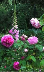 foxgloves and roses, pretty and prettier