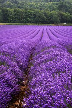 FIELD OF LAVENDER in the southeastern county of Kent, England. I imagine going here and smelling the lavender, which would make me forever think of England. I already associate lavender with sweet childhood memories, and this would make it all the better. Purple Love, All Things Purple, Shades Of Purple, Purple Flowers, Purple Stuff, Lavender Blue, Lavender Fields, Beautiful Flowers, Beautiful Pictures