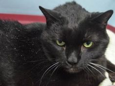 DIED 12/21/17 Puppy cat is a 12 year old, DSH male who was neutered prior to coming into the shelter. He has no known health issues, aside from being overweight, and has not seen a vet recently. He was an owner surrender due to the owner moving to a location that does not allow pets.