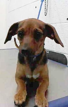 SAFE --- DAISY (A1670666) I am a female brown and black Terrier.  The shelter staff think I am about 1 year old.  I was found as a stray and I may be available for adoption on 01/11/2015. — hier: Miami Dade County Animal Services. https://www.facebook.com/urgentdogsofmiami/photos/pb.191859757515102.-2207520000.1420578407./904461359588268/?type=3&theater