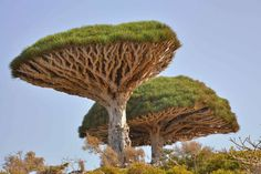 The Socotra dragon tree exists on limestone plateaus and granite mountains on the island of Socotra,... - Flickr user Rod Waddington