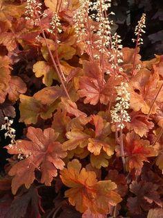 Heucherella Buttered Rum Coppery maple-leaf shaped foliage