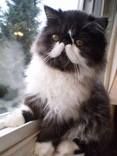 Persian cat with moustaches is among the Top 5 Most expensive Cat Breeds. Click the pic for full list
