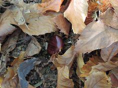 Castaña, fruto del castaño. http://www.elhogarnatural.com/Arboles.htm
