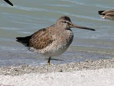 Long-billed Dowitcher(Limnodromus scolopaceus) by Dick Daniels.