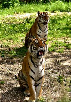 Zwei wunderschöne Tiger