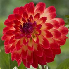 Dahlia Balance. A new introduction from Holland with mid-size flowers on compact plants. The multi-colored petals seem to radiate with a warm, summery glow.