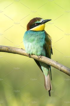 European bee-eater Photos Merops apiaster by Nat