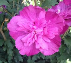 Raspberry Smoothie™ Hibiscus ( Althea ) - Rose Of Sharon Hibiscus syriacus 'raspberry smoothie' Beautiful double raspberry flowers adorn this upright shrub summer through fall. Matures at 8 feet tall